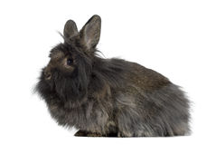 Seitenansicht Mini Lop Rabbit Lizenzfreies Stockbild