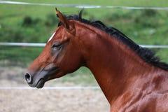 Seitenansicht schoss von einem galoppierenden jungen arabischen Pferd auf Weide Lizenzfreie Stockbilder