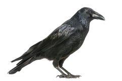 Seitenansicht von Carrion Crow, Corvus corone, Isolat Stockfoto