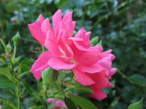 Seitenansicht von einem rosa stieg Lizenzfreie Stockfotografie