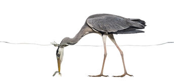 Seitenansicht von Grey Heron, das einen Fisch unter Wasserlinie fängt Stockfotografie