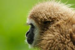 Seitenansicht von Weiß-übergebenen Gibbon Stockbilder