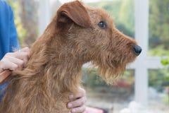 Seitenansicht von Zutaten der irisches Terrier-Kopfnahaufnahme stockbild