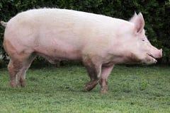 Seitenansichtfoto einer jungen Hausschweinsau auf Farm der Tiere summe Lizenzfreies Stockbild
