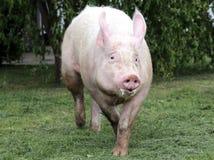 Seitenansichtfoto einer jungen Hausschweinsau auf Farm der Tiere summe Stockfoto