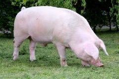 Seitenansichtfoto einer jungen Hausschweinsau auf Farm der Tiere summe Lizenzfreie Stockbilder