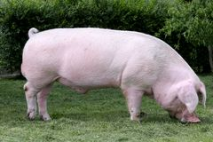 Seitenansichtfoto einer jungen Hausschweinsau auf Farm der Tiere summe Lizenzfreie Stockfotos