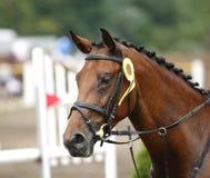 Seitenansichtporträt eines schönen Dressurreitenpferds mit roset Lizenzfreies Stockbild