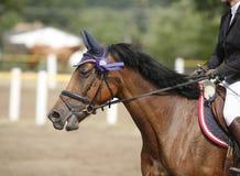Seitenansichtporträt eines schönen Dressurreitenpferds mit roset Lizenzfreie Stockfotografie