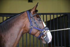 Seitenansichtporträt eines jungen Rennpferds Lizenzfreies Stockbild