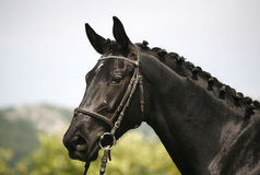 Seitenansichtporträt eines schönen Schwarzen färbte Pferd Stockfoto
