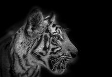 Seitenflächeporträt des Tigers Stockbild