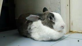 Seitenporträt des alten Kaninchenrestes und -nase ist Gesamtlänge der Geige 4k stock video