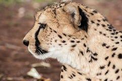 Seitenporträt eines Gepards stockbild