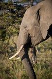 Seitenprofil des afrikanischen Elefanten, Kenia stockfotografie