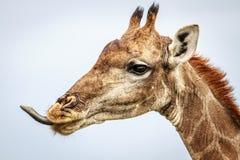 Seitenprofil einer Giraffe Stockbild