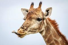 Seitenprofil einer Giraffe Lizenzfreie Stockbilder