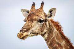 Seitenprofil einer Giraffe Stockfotografie