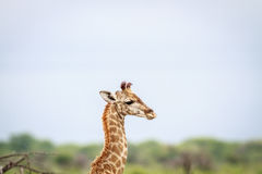 Seitenprofil einer jungen Giraffe Lizenzfreies Stockfoto