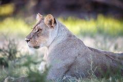 Seitenprofil einer Löwin Stockbild