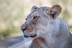 Seitenprofil einer Löwin Lizenzfreies Stockbild
