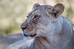 Seitenprofil einer Löwin Stockfotografie