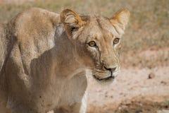 Seitenprofil einer Löwin Lizenzfreie Stockfotos