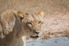 Seitenprofil einer Löwin Stockfotos