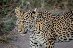 Seitenprofil eines jungen Leoparden Stockbild