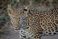 Seitenprofil eines jungen Leoparden Lizenzfreies Stockfoto
