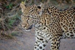 Seitenprofil eines jungen Leoparden Lizenzfreies Stockbild