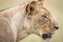 Seitenprofil eines Löwes Lizenzfreie Stockfotografie