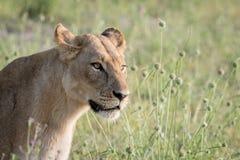 Seitenprofil eines Löwes im Gras Lizenzfreies Stockfoto