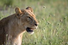 Seitenprofil eines Löwes im Gras Lizenzfreie Stockfotografie