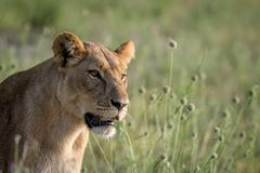 Seitenprofil eines Löwes im Gras Stockfoto