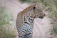 Seitenprofil eines Leoparden auf der Straße Lizenzfreies Stockbild