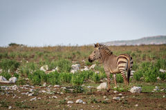 Seitenprofil eines Zebras Stockbilder