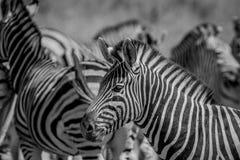 Seitenprofil eines Zebras in einer Herde Stockfoto