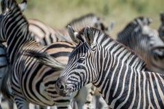 Seitenprofil eines Zebras in einer Herde Lizenzfreie Stockfotografie