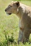Löwinaufwartung Stockbild