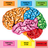 Seitenteilansicht des menschlichen Gehirns Stockbild