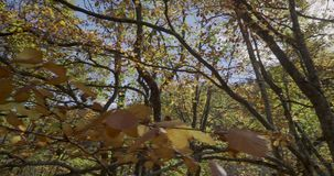 Seitliche Bewegung mit Niederlassungen und Blättern von den Bäumen sehr nah zu uns und zur Sonne an der Spitze stock video