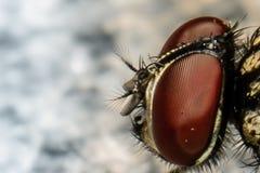 Seitlicher Fliegen-Kopf Lizenzfreies Stockbild
