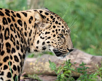 Seitlicher Kopf geschossen vom Amur-Leoparden Stockfotos