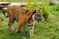 Seitliches Portrait des jungen Sumatran Tigers lizenzfreie stockfotografie