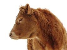 Seitliches Profil des Ochsen Lizenzfreie Stockfotografie