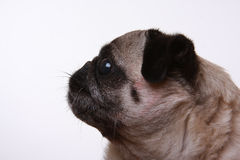 Seitliches Profil eines Pug Lizenzfreie Stockfotografie