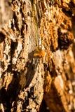 Seiva da árvore Fotografia de Stock Royalty Free