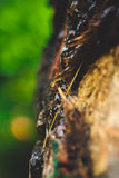 Seiva exótica da árvore de Brown Foto de Stock
