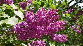 seizoen bloeiende sering stock videobeelden